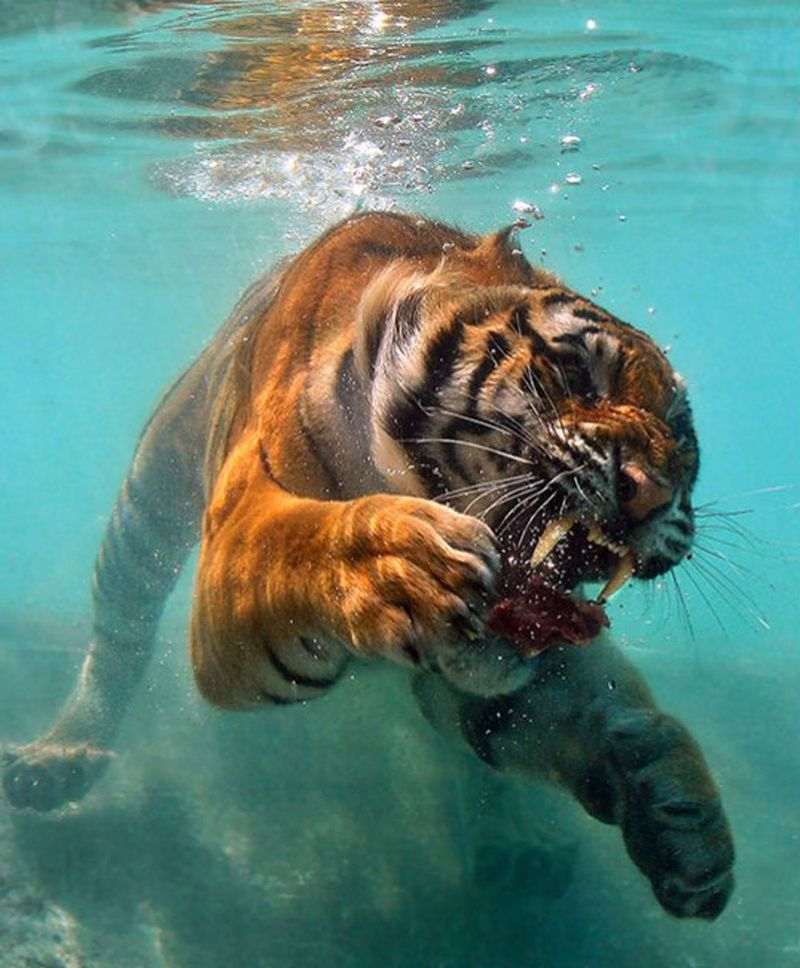Tiger_photo