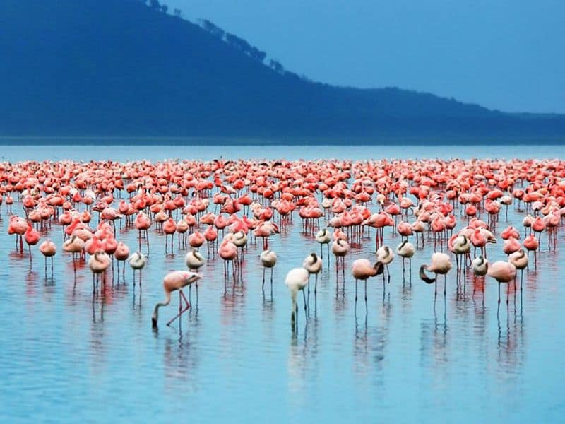 Flamingo_migration
