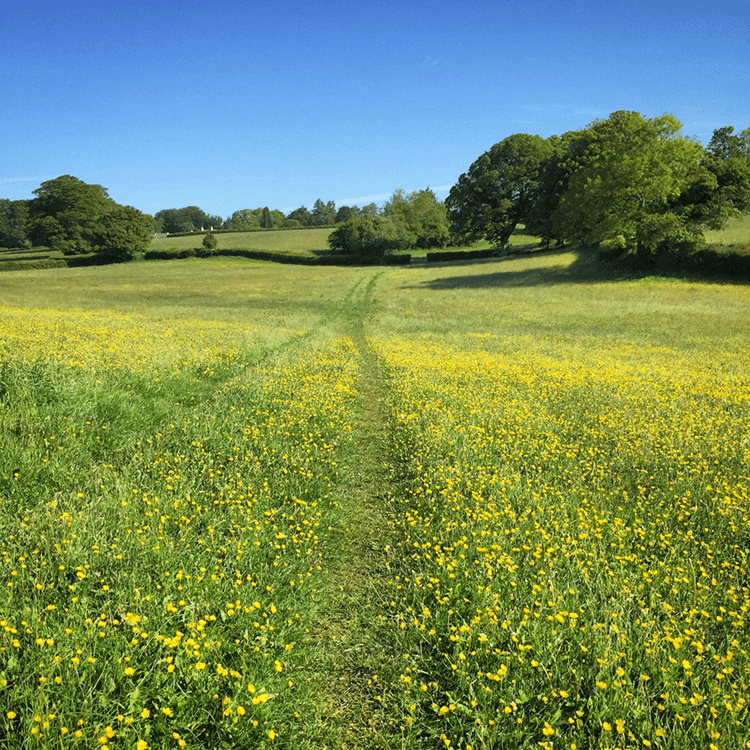 An inspiring walk through a field of buttercups
