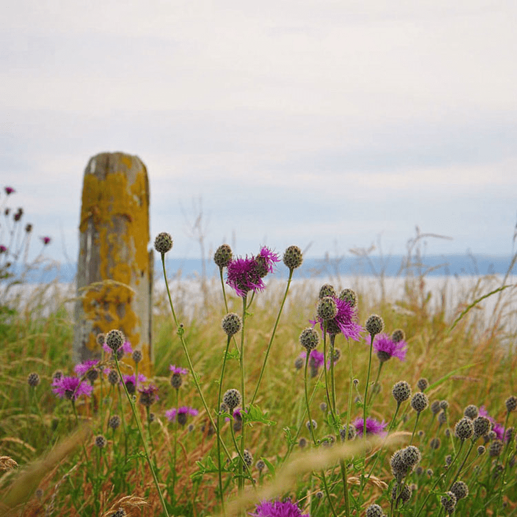 Flowers along a coastal path