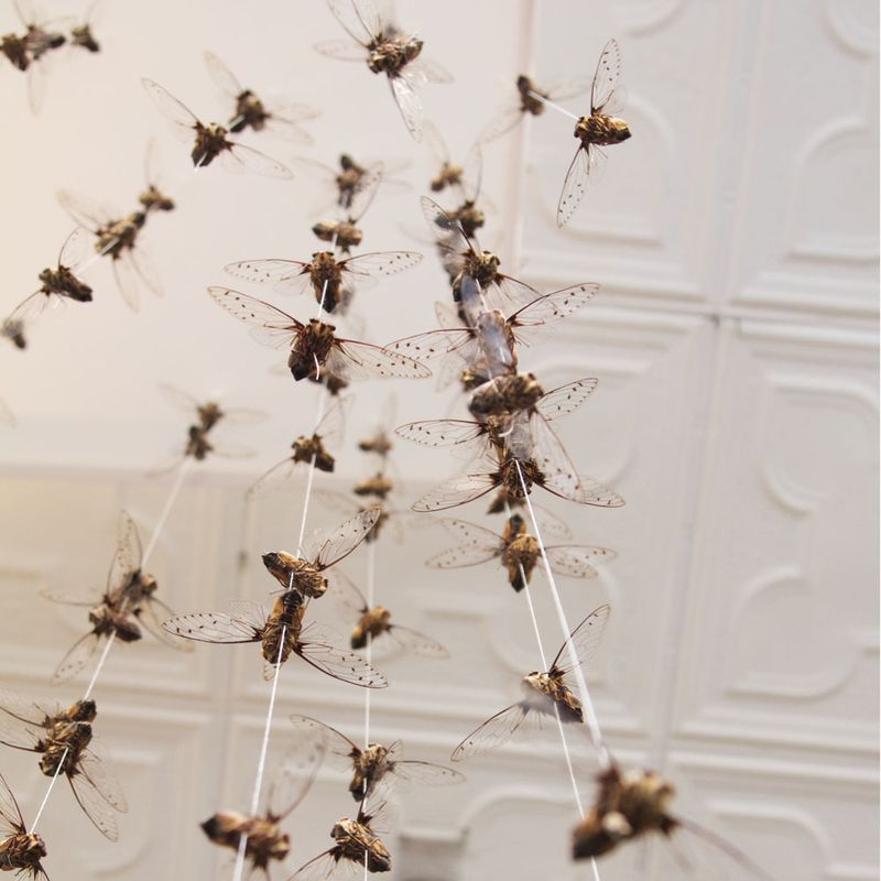 Cicadas hang from the ceiling