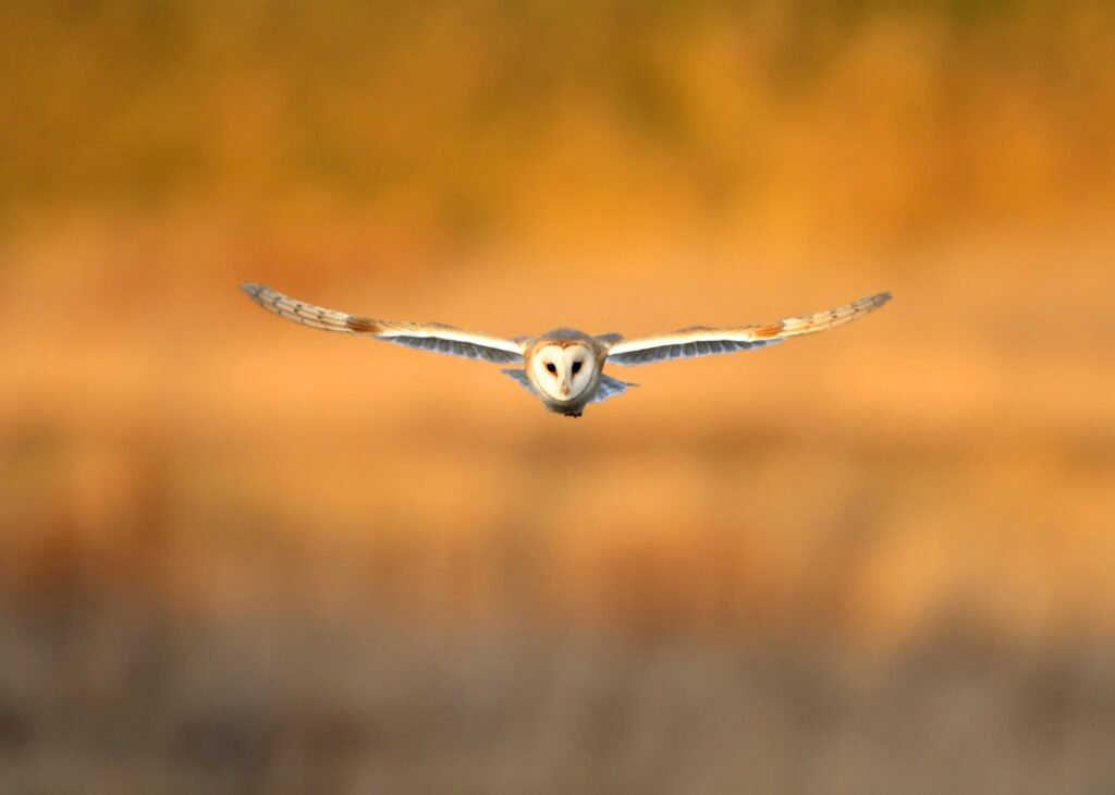 Photo of a barn owl | Spoonflower Blog