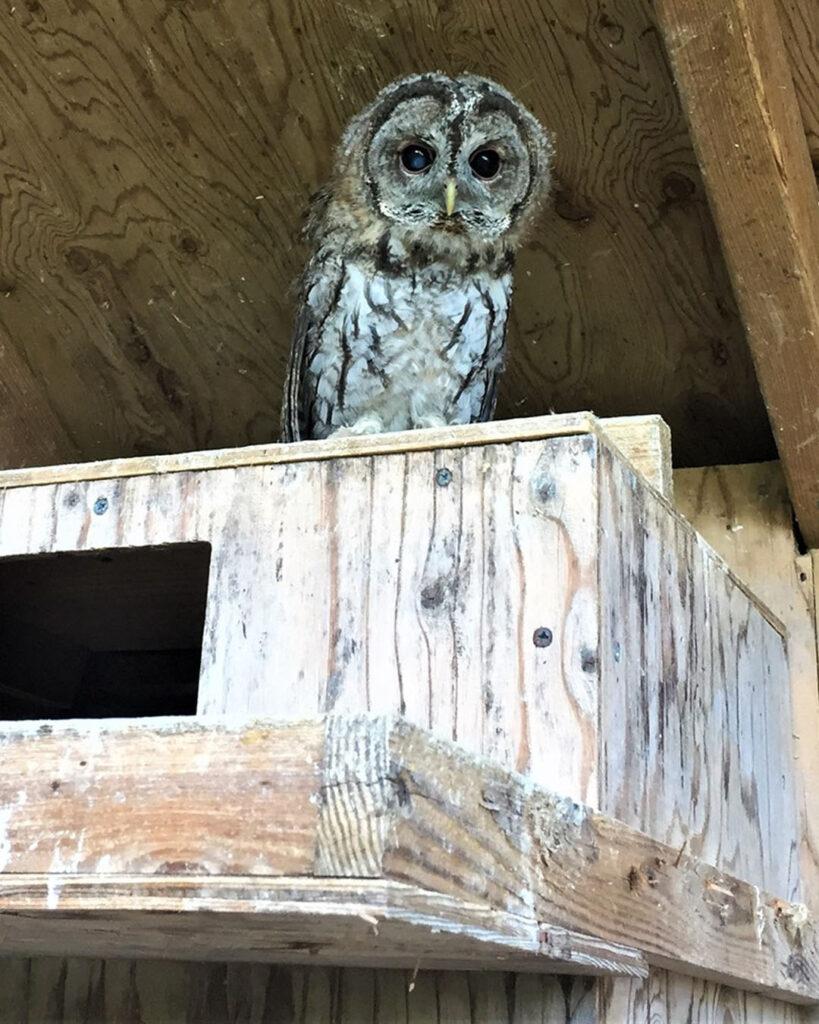 Tawny Owl | Spoonflower Blog