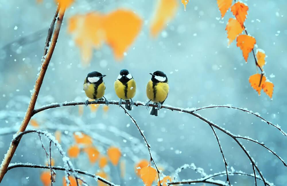 Backyard Winter Birds Tea Towel   Entries due by October 13   Spoonflower Blog