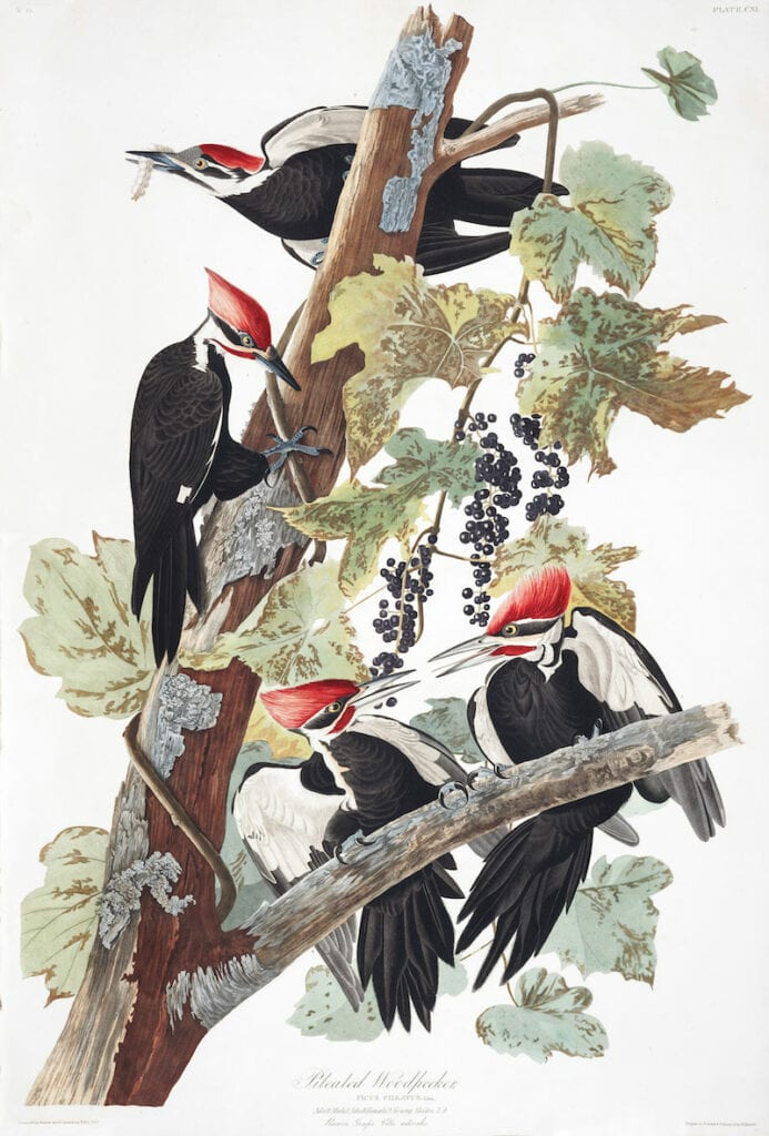 Illustration of four pileated woodpecker perched on a tree eating berries