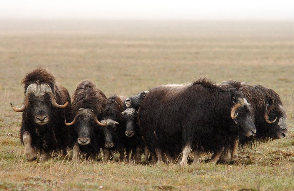 A herd of oxen in a field