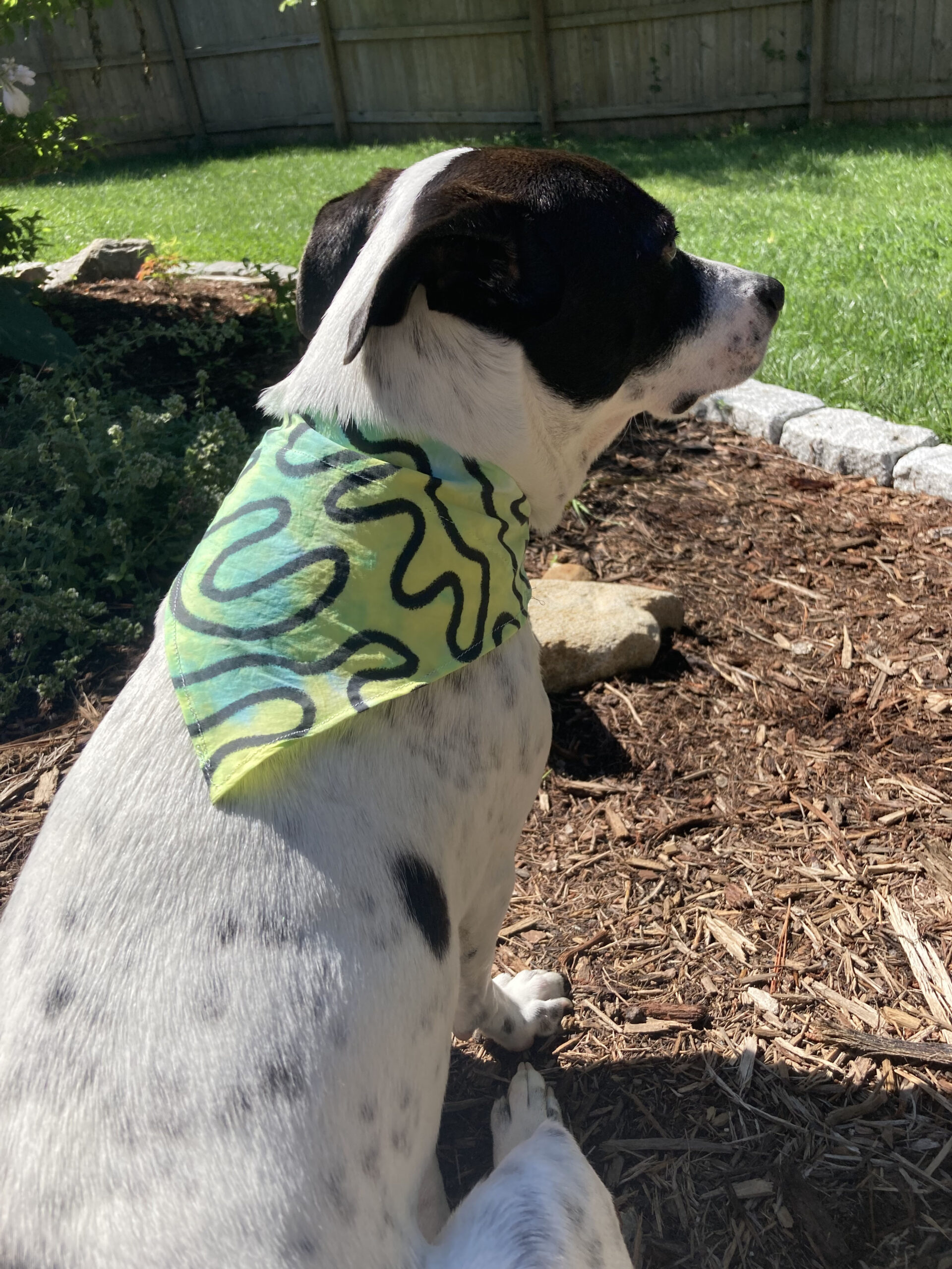 Stella the black and white dog with her green tie dyed bandana