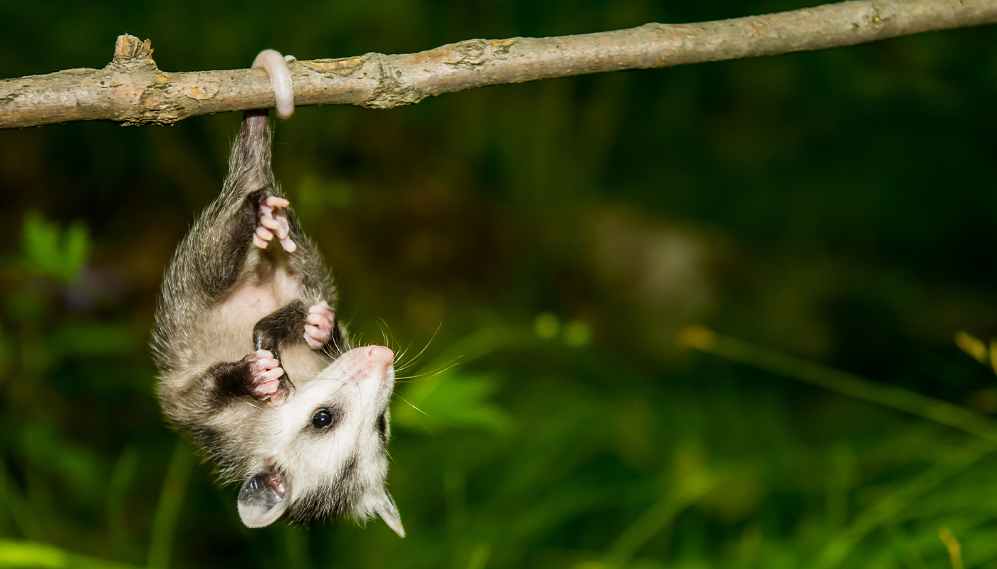 Baby possum hanging from a branch